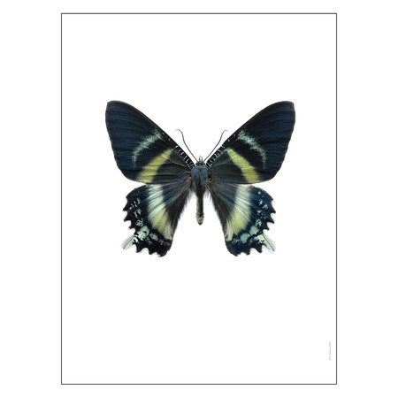 Liljebergs - Butterfly Print - Alcides Orontes - Alcides Orontes