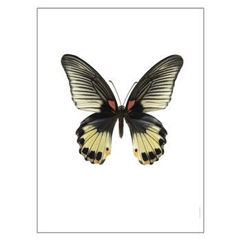 Butterfly Print - Female Papilio Memnon