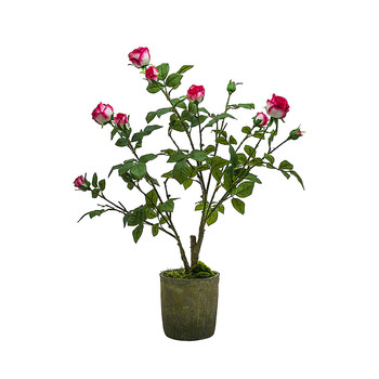 Potted Roses - Fuchsia