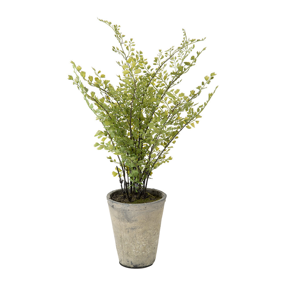 Parlane - Potted Maiden Hair Fern