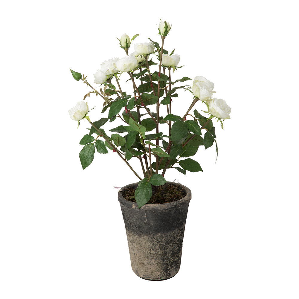 Parlane - Potted Rose Bush - White - Small