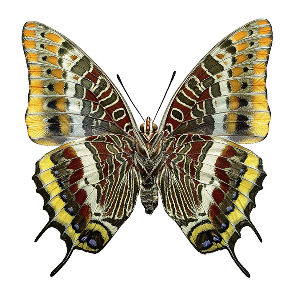 Liljebergs - Butterfly Print - Charaxes Jasius - Underside