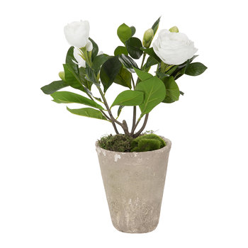 Potted Gardenia - White