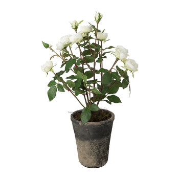 Potted Rose Bush - White - Small