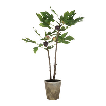 Potted Fig Plant