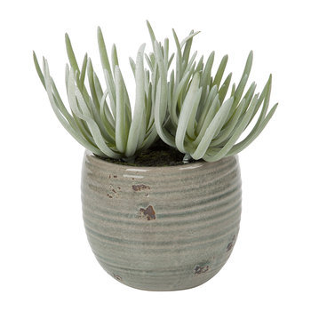 Potted Crassula - Dusky Green
