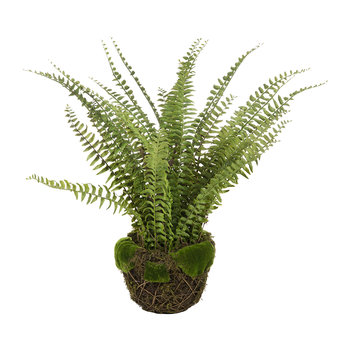Boston Fern with Moss