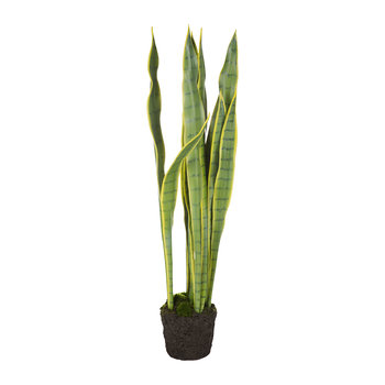 Sansevieria in Soil