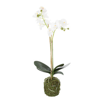 Orchid Phalaenopsis in Soil - White