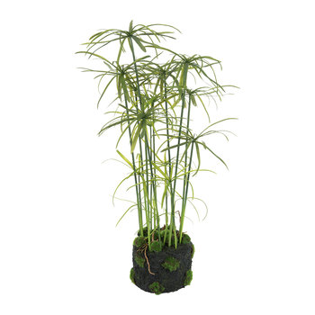 Papyrus Plant in Soil