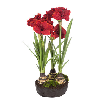 Red Amaryllis in Soil