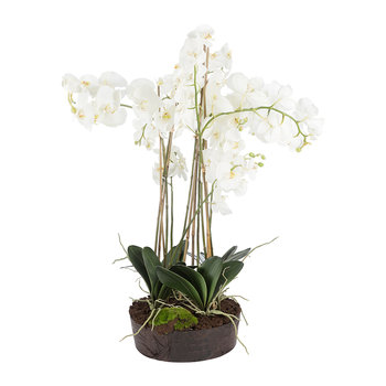 Phalaenopsis Arrangement in Soil - White