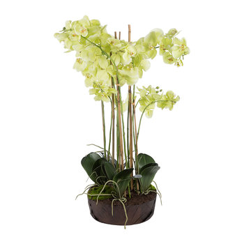 Phalaenopsis Arrangement in Soil - Light Green