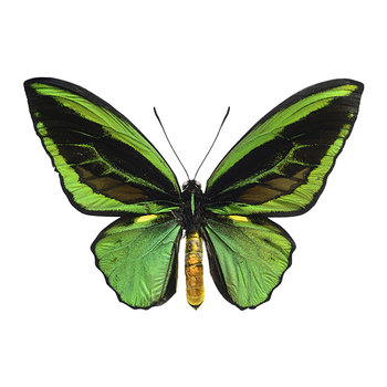 Butterfly Print - Ornithoptera Priamus - Green