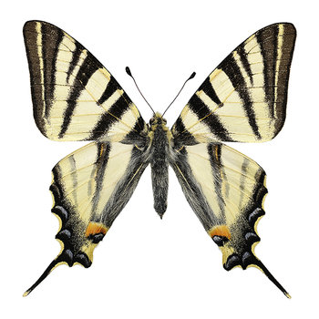 Butterfly Print - Iphiclides Podalirius