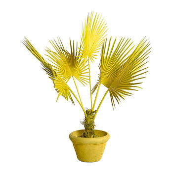 Fan Palm in Pot - Yellow