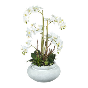 Phalaenopsis Orchid in Pot