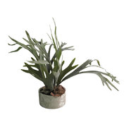 staghorn-plant-in-clay-pot