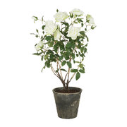 potted-rose-bush-white-large