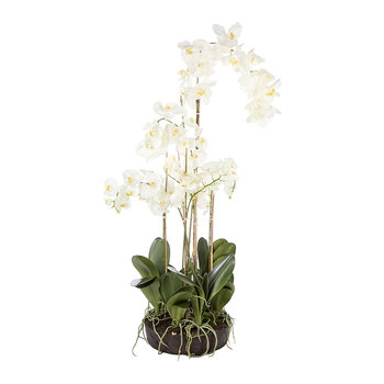 White Phalaenopsis Arrangement in Soil