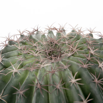 Potted Melon Cactus - Small