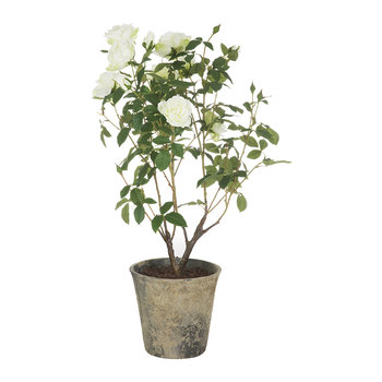 Potted Rose Bush - White - Large