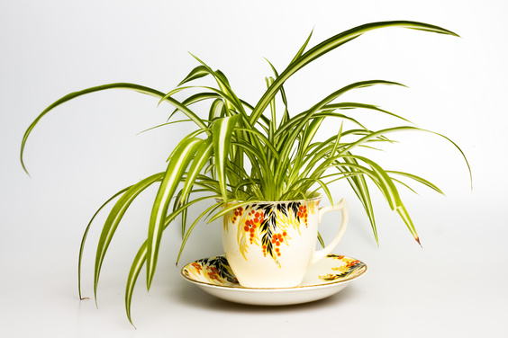 spider plant in teacup
