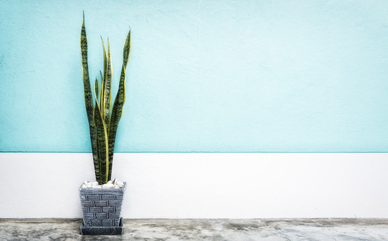 snake plant on blue wall