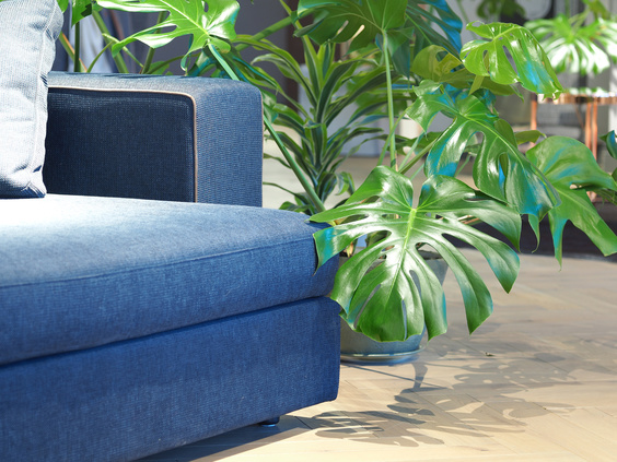 monstera philodendron next to blue sofa